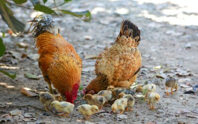 HOPE FOR WELFARE IMPROVEMENT IN THE EGG INDUSTRY